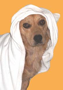 Tan dog with white towel