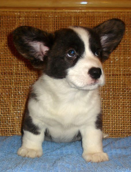 Cardigan Corgi puppy