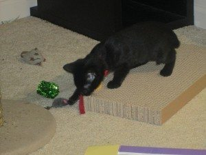 A black kitten in a red collar plays with a grey toy mouse