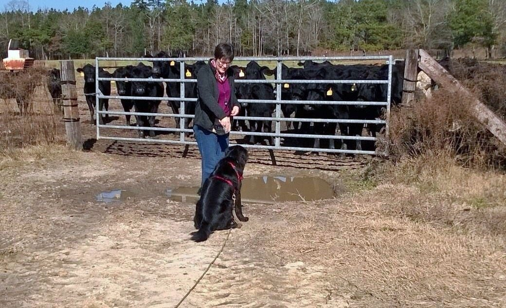 A picture of a woman with short brown hair training a black dog in front of a pen of livestock.