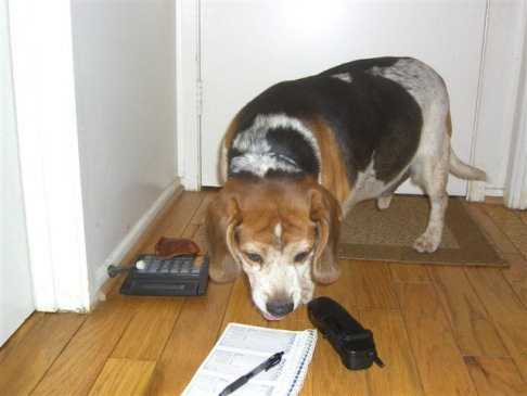 Beagle sniffing phone