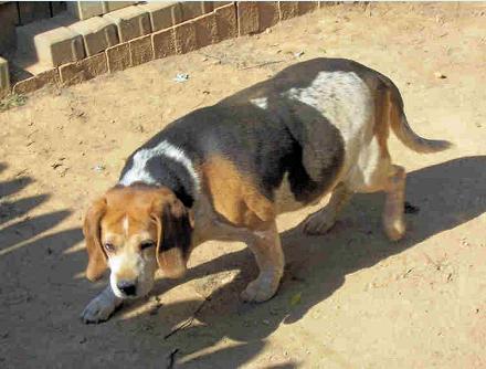 Beagle skulking