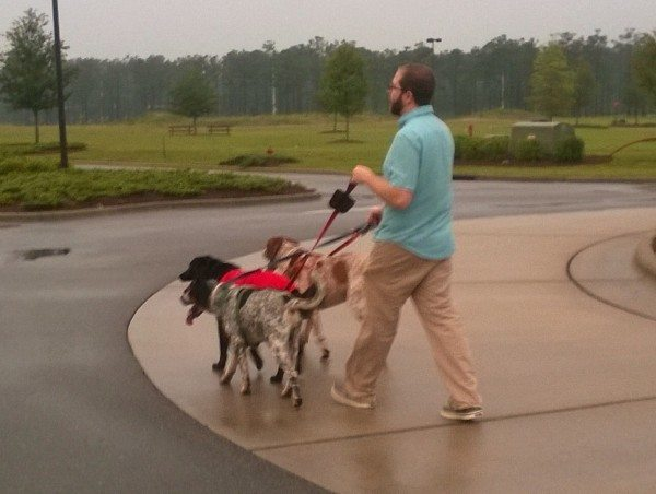 A man walking three large dogs
