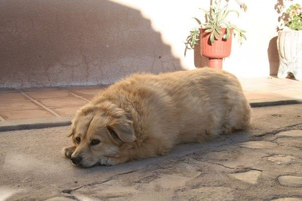 An image of an overweight dog