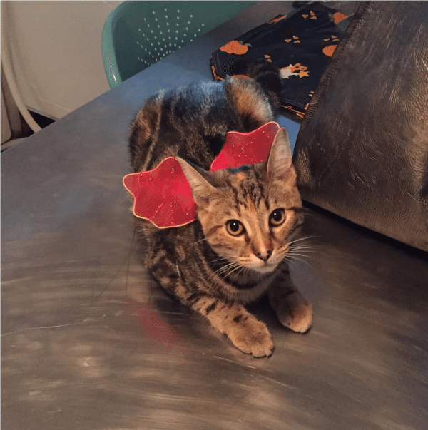 A picture of a tabby kitten wearing red angel wings.