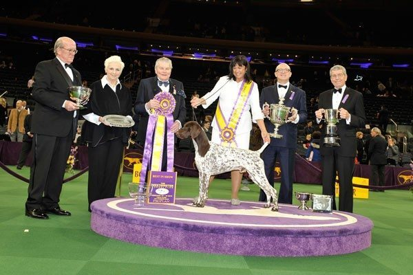 CJ the German shorthaired pointer - Westminster Kennel Club