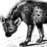 Profile picture of Crocuta